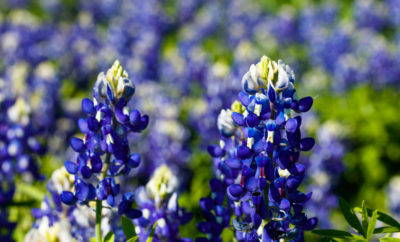 Bluebonnets wildflowers