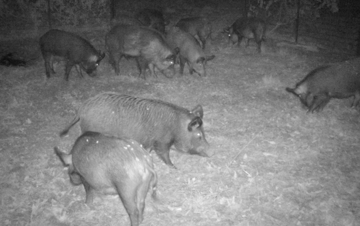 First month feral hog elimination efforts show great success