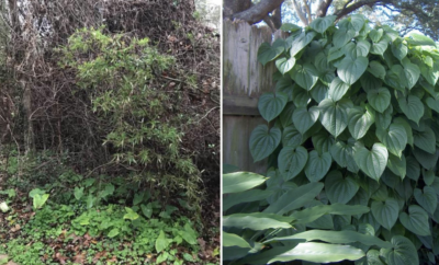Invasive species like air potato vines and elephant ears can overgrow and become a threat to native trees and plants. Volunteers are needed to help contain the spread of these plants in The Woodlands.